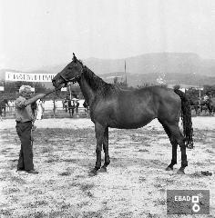Allevatore accanto ad un cavallo. [Su indicazione di Antonino Gallotta: rassegna del cavallo salernitano. Allevamento Morese].