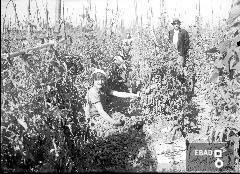 Contadine che raccolgono  pomodori .In piedi il caporale