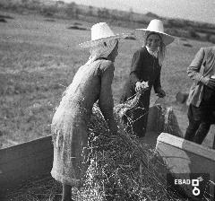 Contadine durante la raccolta del grano