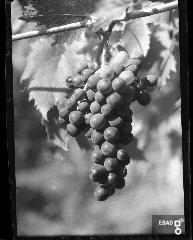 Grappolo d'uva Sangiovese