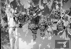 Pianta di vite e grappoli d'uva
